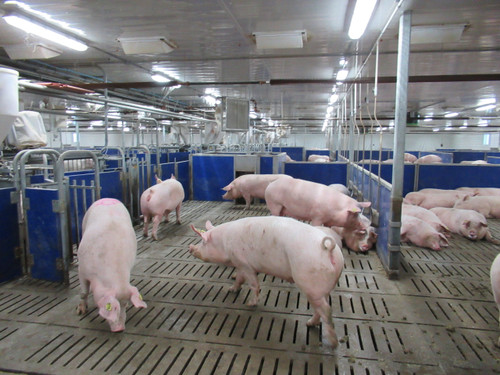 Pen Gestation Make the move to group sow housing Group housing can provide the best environment for your animals when managed properly. Pen gestation allows sows freedom to move, social interaction and increased comfort. Records of sow farms who have made the transition to group housing document top reproductive performance and lower sow mortality rates because sows thrive in the group environment.  Important Advantages Allows sows freedom to move and the comfort of living in a group environment Gives sows social interaction Increases reproductive performance Lower sow mortality rates Electronic Sow Feeding allows you to manage your sow's feed intake individually