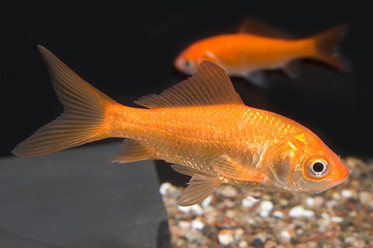 Image result for comet goldfish