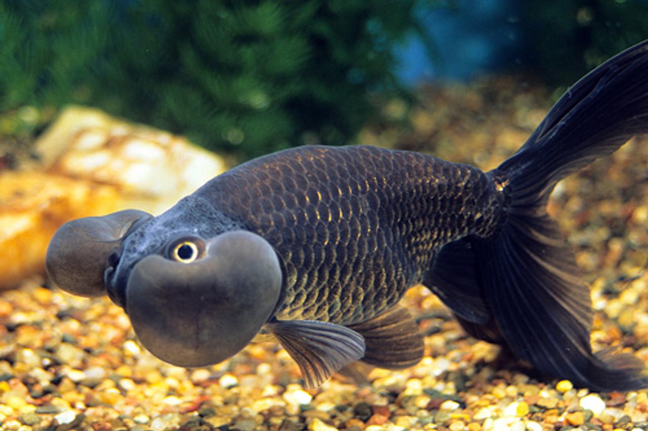 black bubble eye goldfish