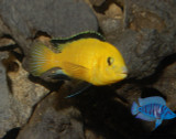 Labidochromis caeruleus Lions Cove (yellow Lab) - 1.25 -2.25 inches