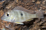 "Geophagus sp. Tapajos ""Red head"" regular"