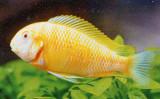 Albino Tropheus brichardi Kipili - regular size