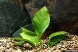 Anubias Nana Plant - MEDIUM