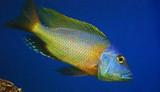 Buccochromis Nototaenia -1.25 -2.25 inches