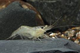 Freshwater - Freshwater Crustacean - Page 1 - Bluegrassaquatics com