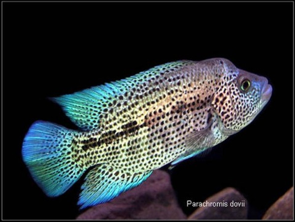 Parachromis Dovii 25 Inches Nice Bluegrassaquaticscom