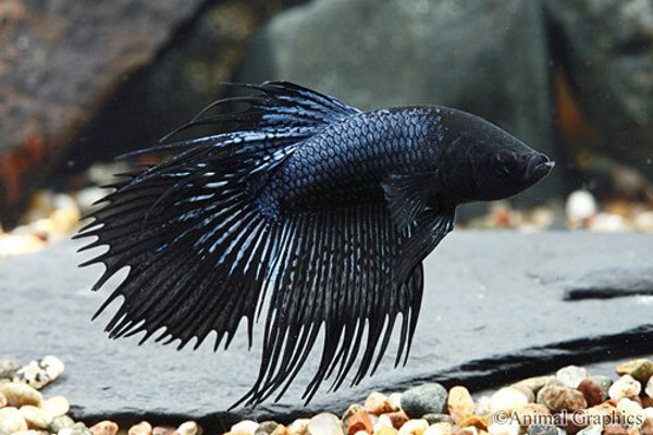 Black Orchid Crowntail Betta Show Male