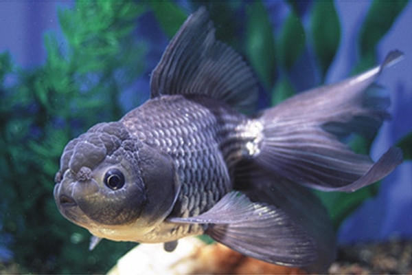 Blue Oranda Goldfish - Regular 2 - 2 5 inches