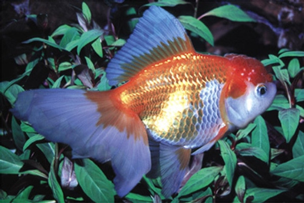 Red & White Oranda Goldfish - Regular 2 - 2 5 inches