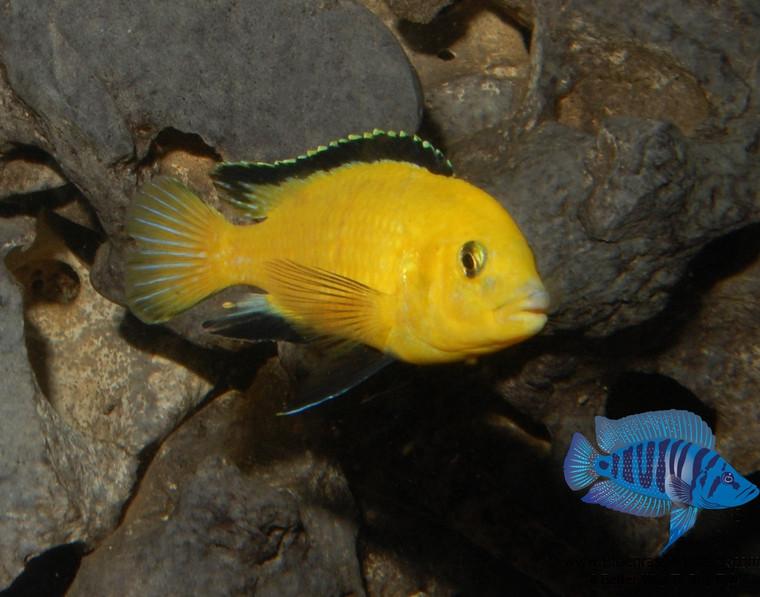 Labidochromis caeruleus Lions Cove (yellow Lab) - 1.25 -2.25 inches