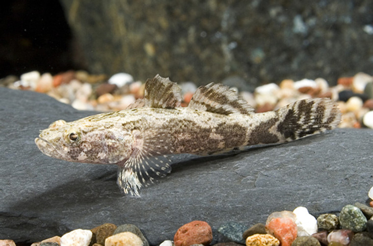 MARBLE GOBY regular size