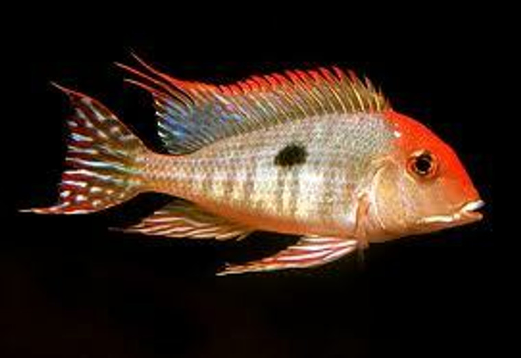 "Geophagus sp. Tapajos ""Red head"" regular"