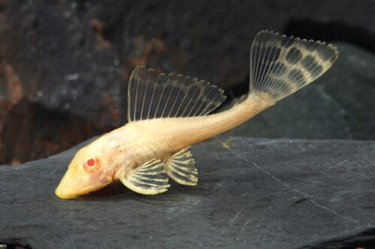 "Albino Gibbiceps Pleco - Regular 2 - 2.5"" inches"