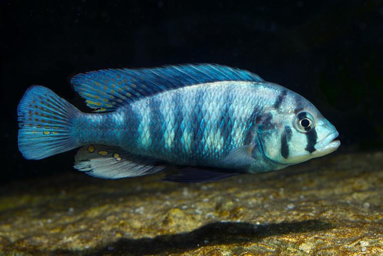 Neochromis Omnicaeruleus (Makobe Island) - Tricolor Fulu 1.25 - 2.25 inch