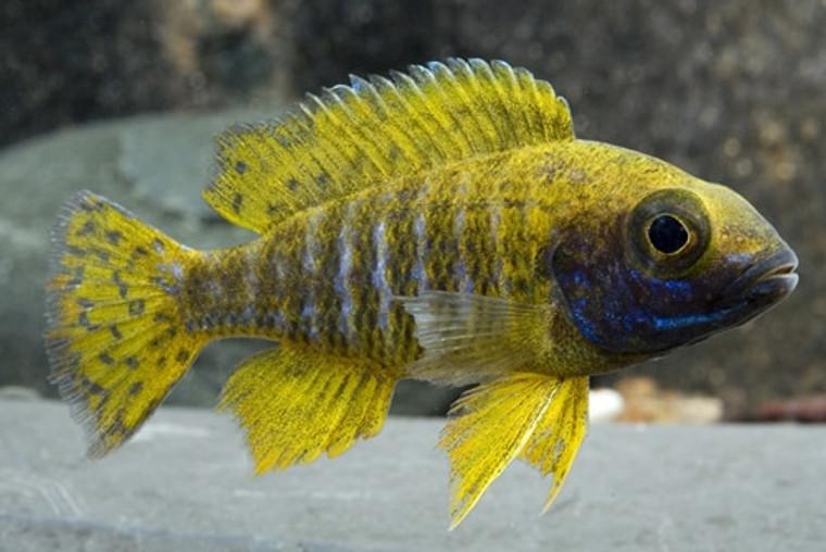 Sunshine peacock  -  regular 1.5 -2.25  inches