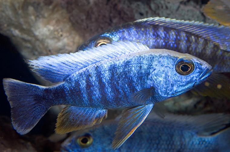 BLUE AHLI   -  regular 1.5 -2.25  inches