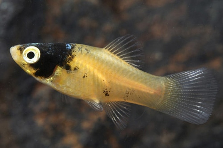 BUMBLEBEE PLATY regular