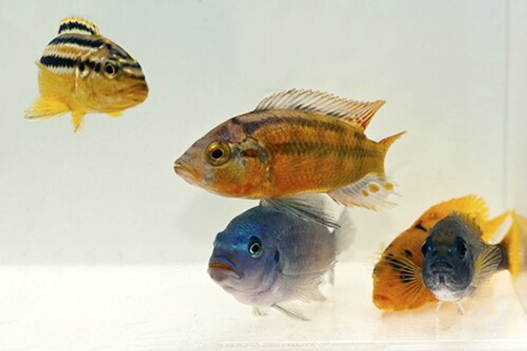 Mixed African cichlids- small: 1 -1.25 inches