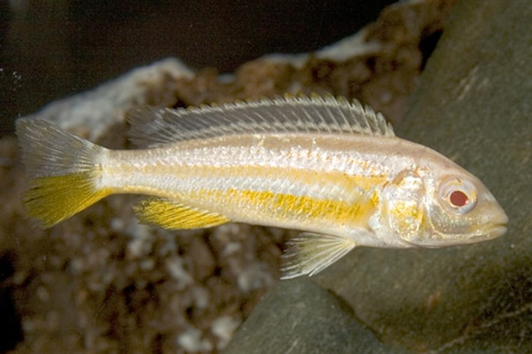 Melanochromis auratus (albino) - regular: 1.5 -2.25  inches