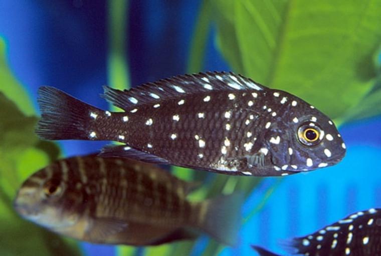 Tropheus duboisi - regular: 1.5 -2.25  inches