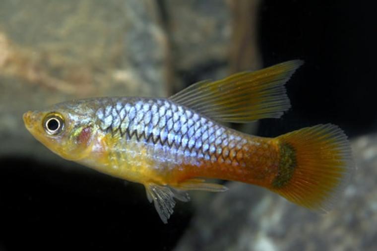 HIFIN BLUE REDTAIL VARIATUS regular