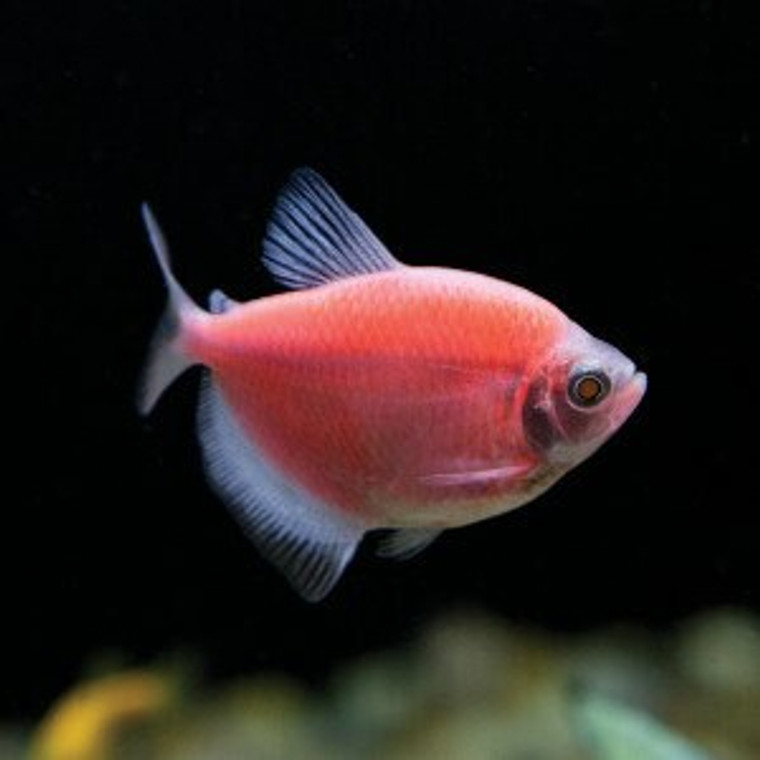 MOONRISE PINK GLOFISH TETRA (T M)  regular size