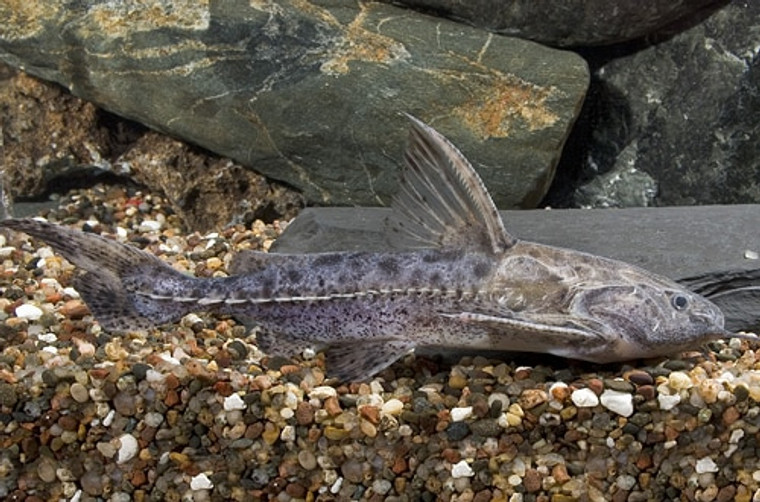 Granulated catfish- 3.0-4.0 inch
