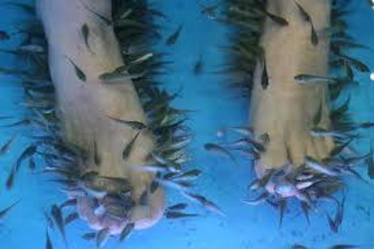GARRA RUFA (PEDICURE FISH) regular