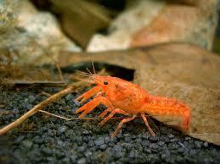 Mexican dwarf orange crayfish - Florida Bred