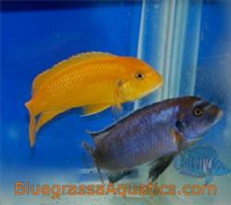 Metriaclima sp. Msobo Magunga Deep  regular
