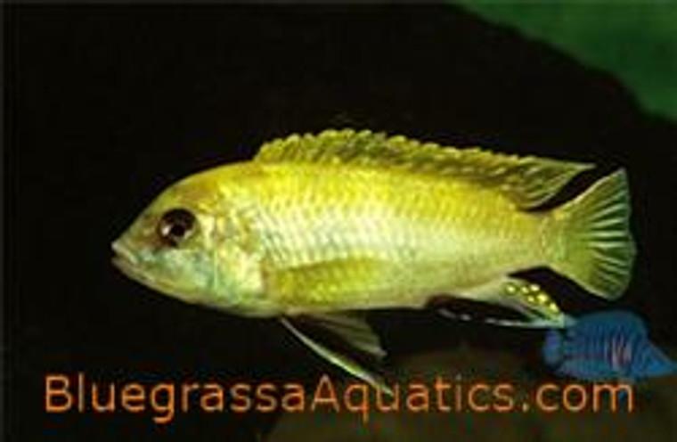 Labidochromis perlmutt higga Reef regular 1.25-2.25 inch