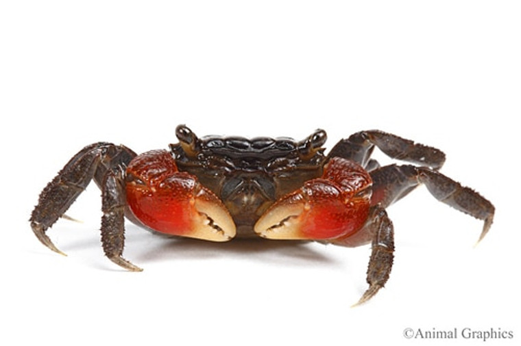 Red Claw Crab - regular size