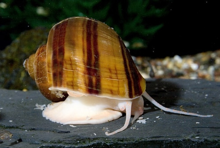 Albino Mystery Snail - regular size