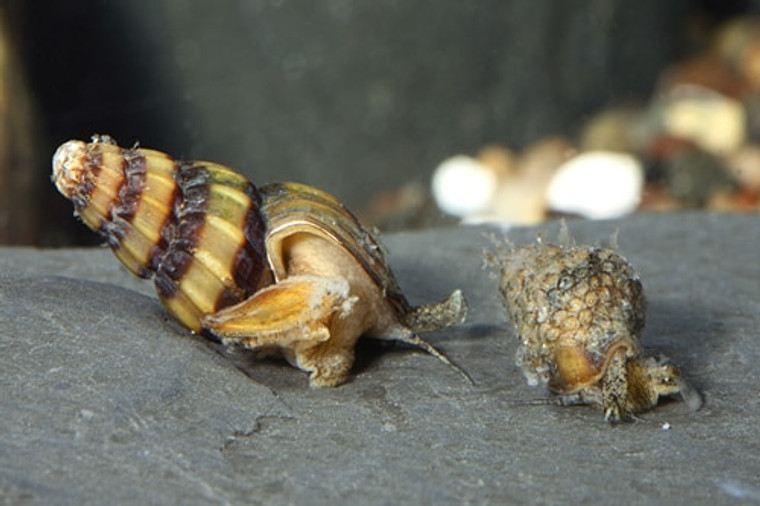 Assassin Snail Eater Snail - regular size