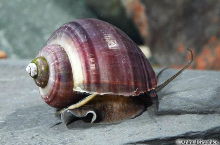 Black Mystery Snail - regular size