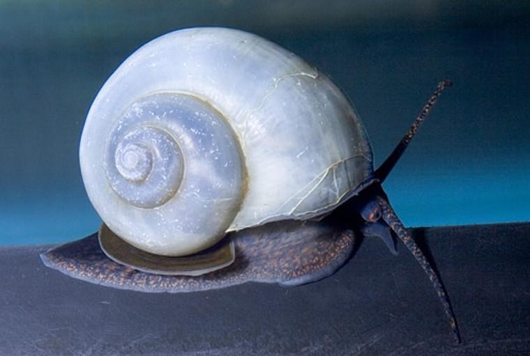 Blue Mystery Snail - regular size