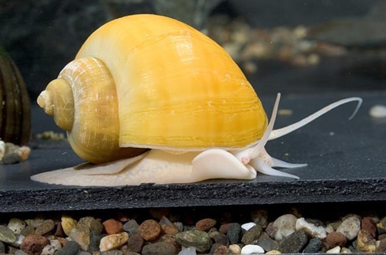 Gold Mystery Snail - regular size