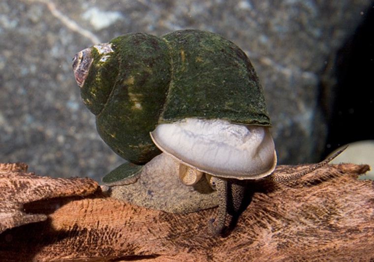 Japanese Trapdoor Snail - regular