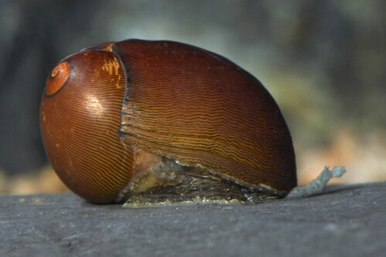 Olive Nerite Snail - small