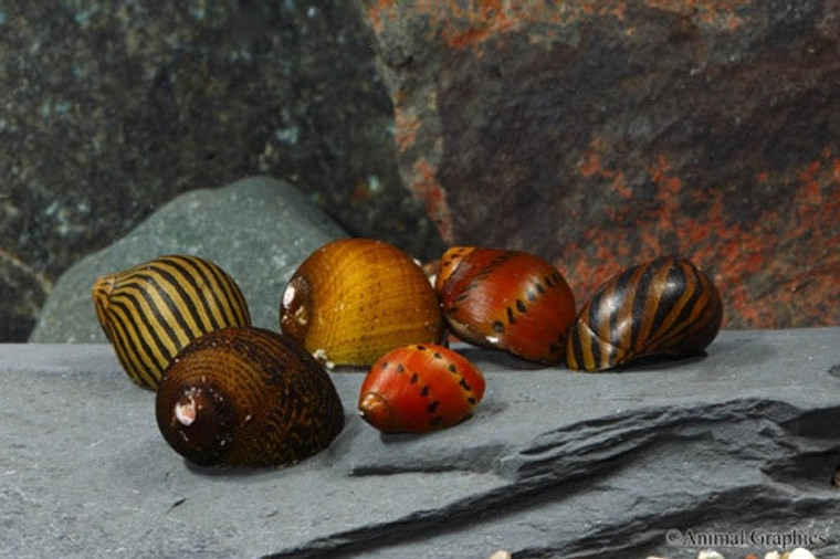 Assorted Nerite Snail - small