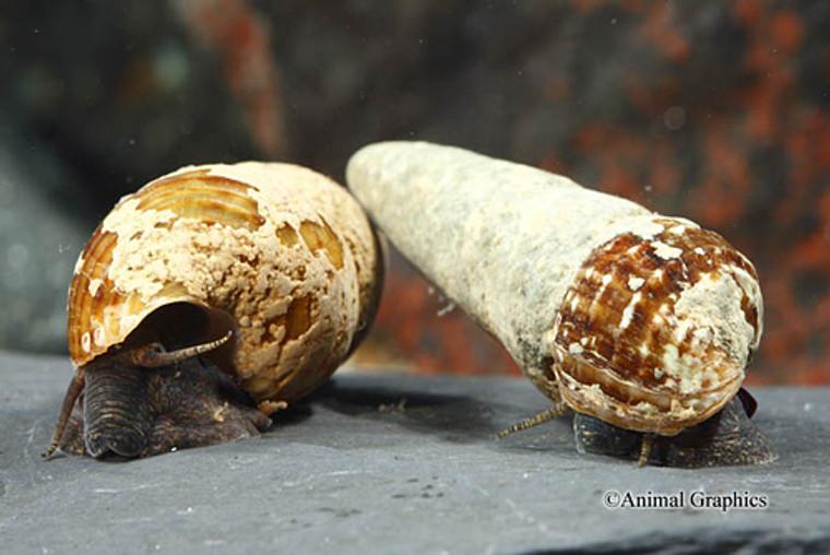 Chocolate Rabbit Snail - regular size