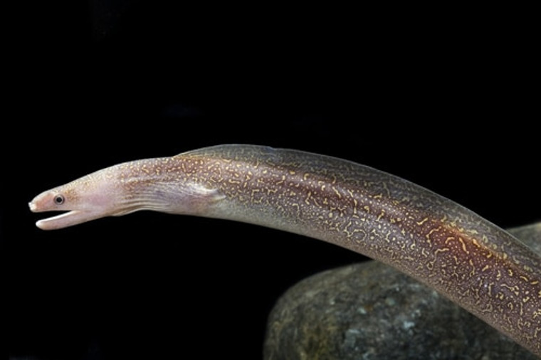 Snowflake Freshwater Moray Eel - Large size