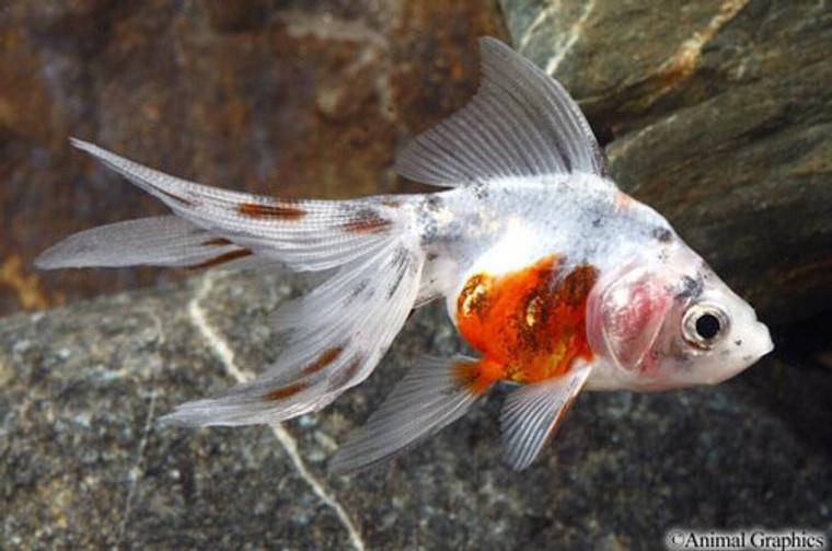 Calico Fantail Goldfish - medium/ select size
