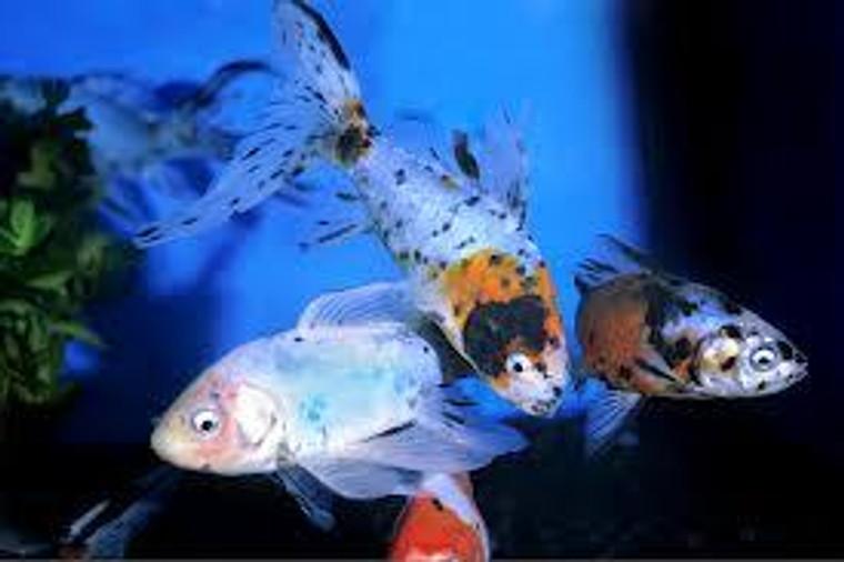"Calico Shubunkin Goldfish 2-3"" - regular size"