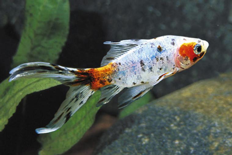 """Calico Shubunkin Goldfish 4-5"""" - medium size"""