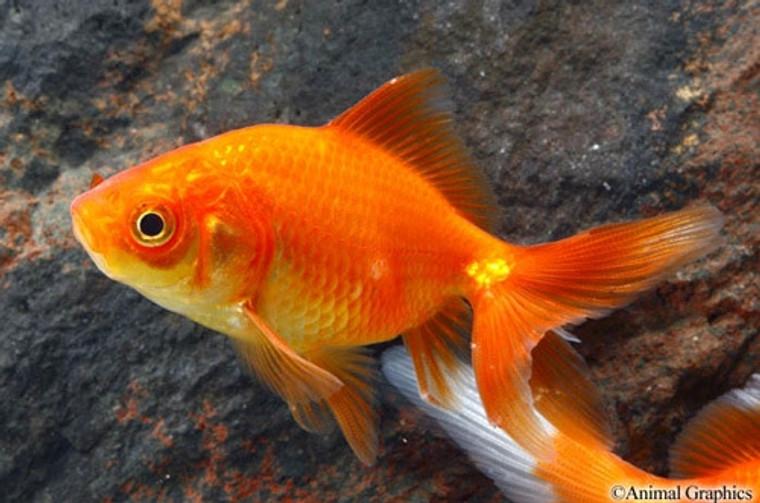 Red Fantail Goldfish - medium size