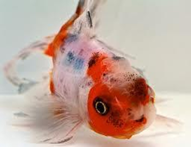 Calico Oranda Goldfish - Regular 2 - 2.5 inches