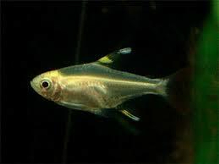 Gold Pristella Tetra- regular size
