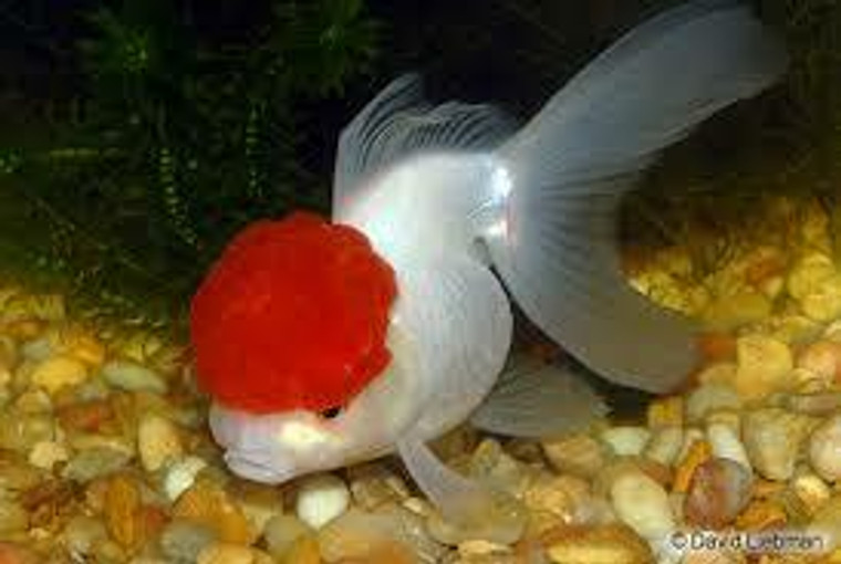 Red Cap Oranda Goldfish - Regular 2 - 2.5 inches