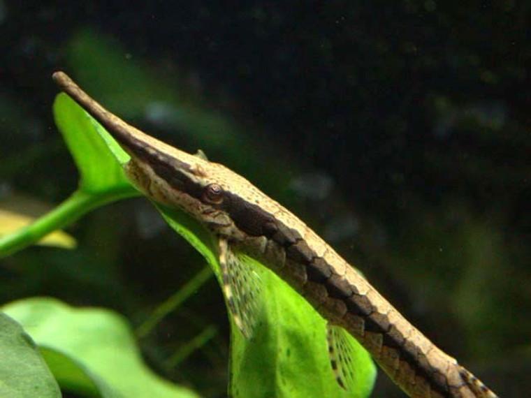 Farlowella Catfish - regular size